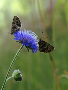 VibrationsCoaching: butterflies on blue flower