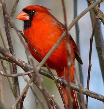 When Cardinal Calls