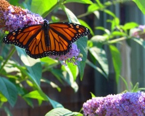 VibrationsCoaching: Butterfly and Lilac