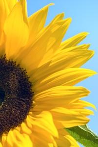 Vibrations Coaching: Sunflower