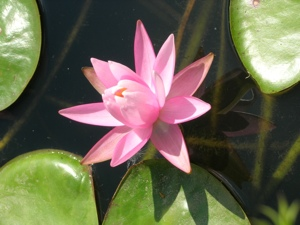 Vibrations Coaching: Pink Water Lily